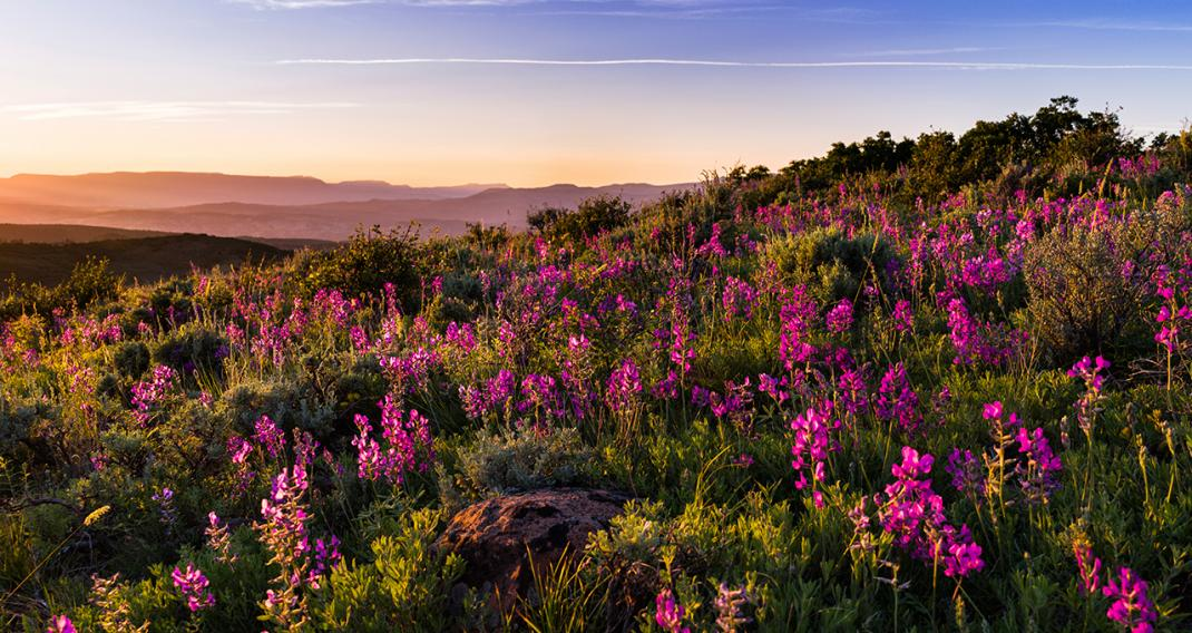 Flowers on a hillside during sunset